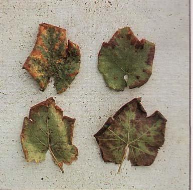 Τζιτζικάκι της αμπέλου (empoasce spp.)